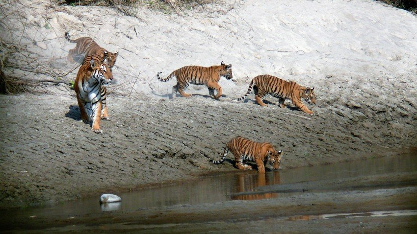 Bengal Tigers in Bardia National Park